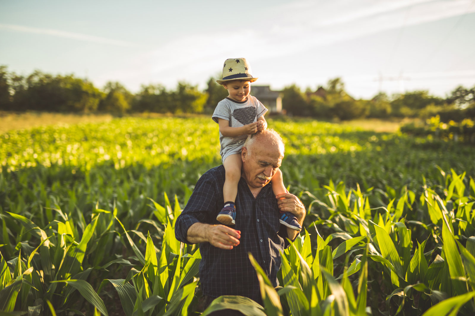 Grandfather carrying grandson on his shoulders in a corn field